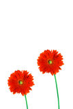 Two gerbera daisies. Two red gerbera daisies on white background royalty free stock image