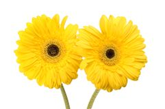 Two gerbera daisies. Two yellow gerbera daisy flowers isolated against white Stock Image