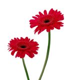 Two gerbera daisy Stock Photography