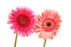 Two gerbera daisies. Two gerbera daisy flowers isolated against white Stock Photos