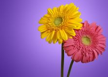 Two Gerbera Flowers Royalty Free Stock Image