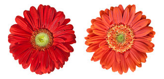 Two gerbera flowers in high resolution Stock Photos