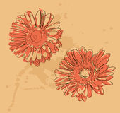 Two gerbera flowers Stock Image
