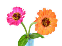 Two gerbera Flowers on white background Royalty Free Stock Photo