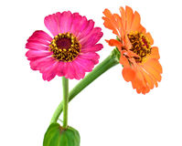 Two gerbera Flowers on white background Stock Photography