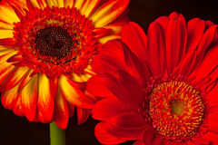 Two Gerberas Royalty Free Stock Photos