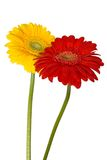 Two gerberas. Yellow and red gerberas on white background royalty free stock photo