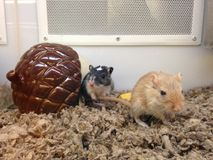 Two Gerbillinaes in a Pet Strore in Manhattan. Stock Photo