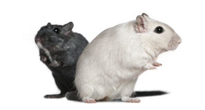 Two Gerbils, 2 years old Royalty Free Stock Photography
