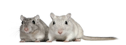 Two Gerbils, 2 years old Stock Images