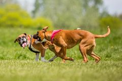 Two German Boxer Dogs running and jumping chasing each other in a field. play biting. Two brown and white boxer puppy dog with floppy ears short haired dog stock image