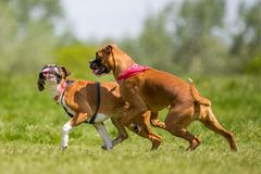 Two German Boxer Dogs running and jumping chasing each other in a field. play biting. Two brown and white boxer puppy dog with floppy ears short haired dog royalty free stock images