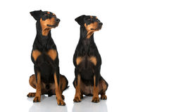 Two german pinscher Stock Photography
