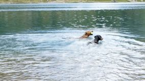 Two German Pinscher playing in a lake stock video footage