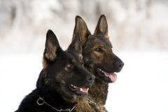 Two German Sheepdogs Royalty Free Stock Photo