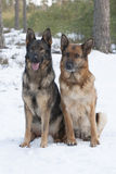 Two German Sheepdogs Stock Images