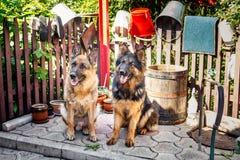 Two German Shepherd dog, Stock Photos