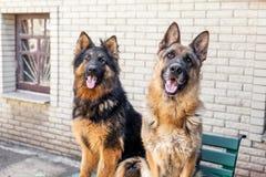 Two German Shepherd dog, Royalty Free Stock Images