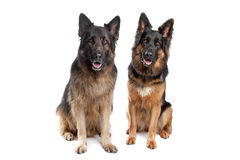 Two German shepherd dogs. In front of a white background royalty free stock photo