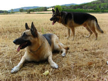 Two German Shepherd dogs. Two German sheperd dogs posing, attentive to the owner Stock Photo