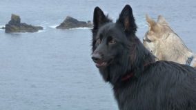 Two German Shepherd Dogs. Against a sea background in England Stock Photos