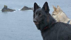 Two German Shepherd Dogs Stock Photos