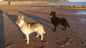 Two German Shepherd dogs on a beach in England. Two young German Shepherds poised ready to chase a ball on a beach in Devon England UK royalty free stock photo