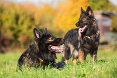 Two German Shepherd dogs on the meadow Royalty Free Stock Image