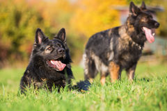 Two German Shepherd dogs on the meadow Royalty Free Stock Photos