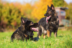 Two German Shepherd dogs on the meadow Stock Images