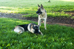 Two German shepherd dogs Royalty Free Stock Photo