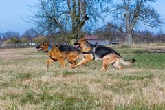 Two running german shepherd dogs. Two german shepherd dogs running on a meadow and haveing fun royalty free stock photography