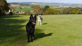 Two German Shepherd Dogs standing alert in a field Stock Images
