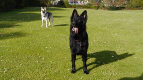 Two German Shepherd Dogs standing alert in a field Royalty Free Stock Image