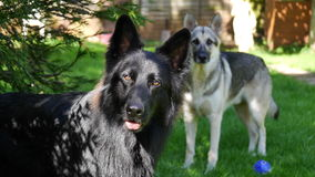 Two German Shepherd Dogs. Young German Shepherd Dogs watchful and alert Royalty Free Stock Image