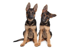 Two German shepherd puppies. In front of a white background stock images