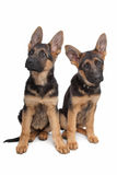 Two German shepherd puppies. In front of a white background royalty free stock photos