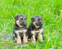 Two german shepherd puppies on green grass.  royalty free stock images