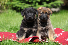 Two german shepherd puppies sitting side by side. On red blanket royalty free stock photo