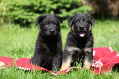 Two german shepherd puppies sitting side by side Royalty Free Stock Photography
