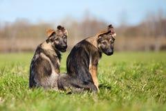 Two German shepherd puppys Royalty Free Stock Photo