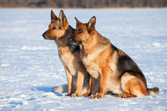 Two German shepherds Royalty Free Stock Photography