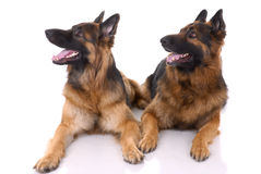Free Two German Shepherds Royalty Free Stock Photos - 8721478