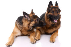 Two german shepherds Royalty Free Stock Photos