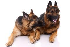 Two german shepherds Royalty Free Stock Photos