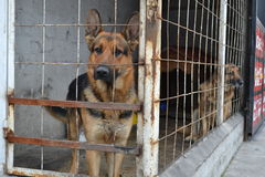 Two german shepherds caged in, one sticking head through fence and other looking at camera Royalty Free Stock Photography