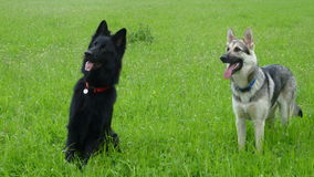 Two German Shepherd Dogs in an English field. Two dogs in a field on an afternoon in May Royalty Free Stock Images