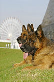 Two German shepherds on a hill. In a big park royalty free stock photo
