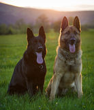 Two German Shepherds Royalty Free Stock Photo