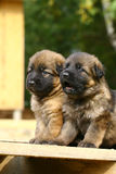 Two german shepherds puppies Royalty Free Stock Photo